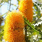 Banksias, Perth W.A.   by Margaret Stanton