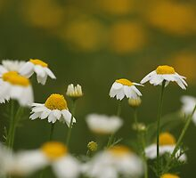 common chamomile (Anthemis cotula) by PhotoStock-Isra