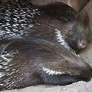 Indian Crested Porcupines by Vac1