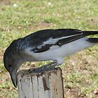 Butcher Bird at Work: Derby, Western Australia by linfranca