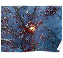 snow covered cherries Poster