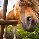 Pony behind fence by pahas