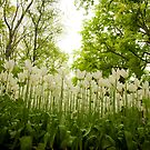 White tulips by pahas