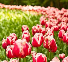 Red tulips by pahas