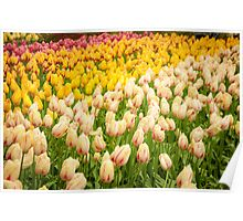 Colorful ulips Poster