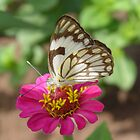 Butterfly on Zinnia flower. by Annabella