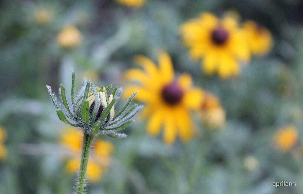 Minnesota Wildflower - Black-Eyed Susan by aprilann