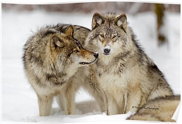 Love you sweetie... - Timber Wolves by Yannik Hay