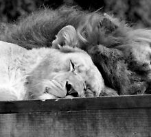 'Lion Around' by Colin Shepherd