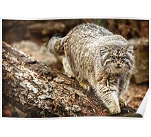 Pallas Cat in High Def Poster