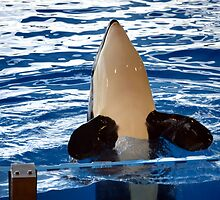 Orca Whale show by PhotoStock-Isra