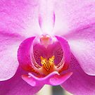 Phalaenopsis orchid by Arve Bettum
