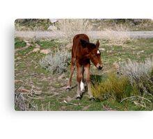 Little Baby,Reno Nevada USA Canvas Print