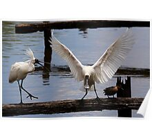 Room For One  Royal Spoonbills Poster