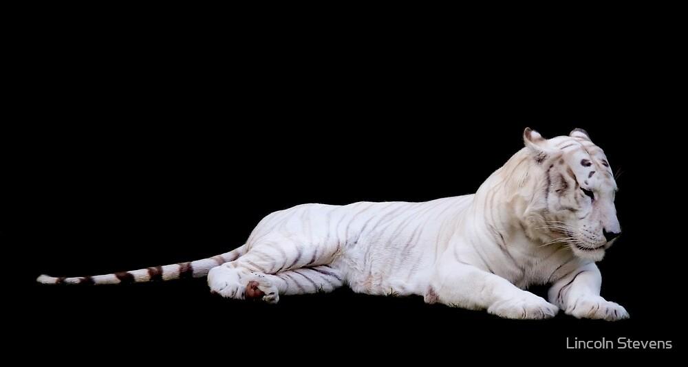 White Tiger by Lincoln Stevens