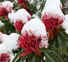 Waratahs in the Snow by PenguinSands