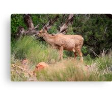Deer in the forest,Zion National Park,Utah,USA Canvas Print