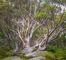 Snow Gum #4 by Bette Devine