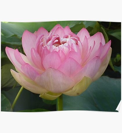 Pink Lotus of Love - Happy 2013 my beautiful RedBubble Friends! Poster