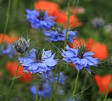 Love in a Mist by John Steven Dutton
