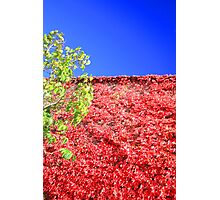 virginia creeper in autumn Photographic Print