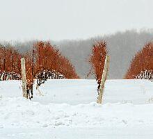 Niagara Vineyard by Marilyn Cornwell