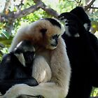 gibbons by JAMES LEVETT