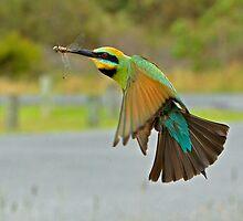 Rainbow Bee-Eater  83 by John Van-Den-Broeke