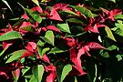 Red and Green by Trish Meyer