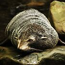 Fur Seal by rickstar228