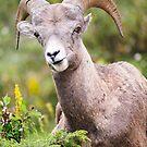 Bighorn Sheep by peterwey