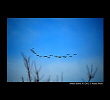Branta Canadensis - Canada Geese Flying Over Pine Lake - Middle Island, New York by © Sophie W. Smith