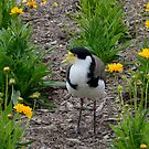 Masked Lapwing by 29Breizh33