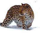The Amur Leopard in his element  by John44