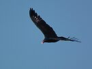 Turkey Vulture Flying In Iowa Sky by Deb Fedeler