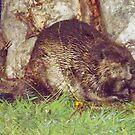 Bucky Beaver! by Barry Hobbs