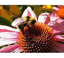 Bee at work II Photographic Print