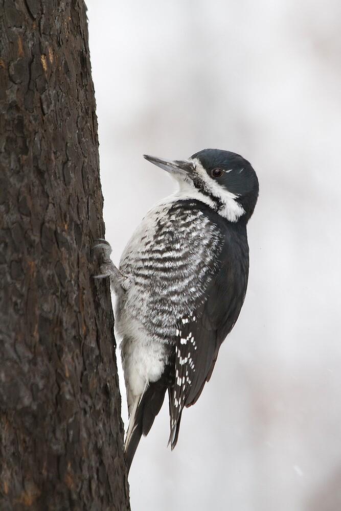 Black-backed Woodpecker On Charred Bark. by Daniel Cadieux