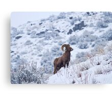 Winter Ram Canvas Print