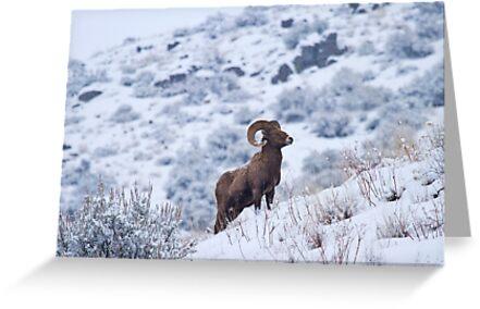 Winter Ram by DawsonImages