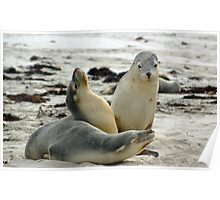 Australian Sea Lion Group Photo, Seal Bay - Kangaroo Island  Poster