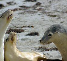 Sea Lion Politics, Kangaroo Island by Henry Inglis