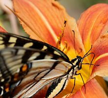 Monarch and Tiger Lilly by DubeyDunn