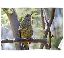 Female Satin Bowerbird Poster