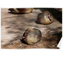 Plumed Whistling Ducks Poster
