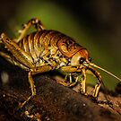 Native New Zealand Weta by rickstar228
