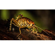 Native New Zealand Weta Photographic Print