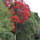 Flame Tree by aussiebushstick
