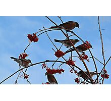 December Robins Photographic Print