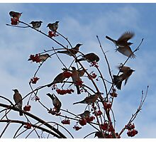 Robins Everywhere Photographic Print